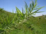 Polygonatum sewerzowii