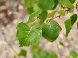 Betula platyphylla