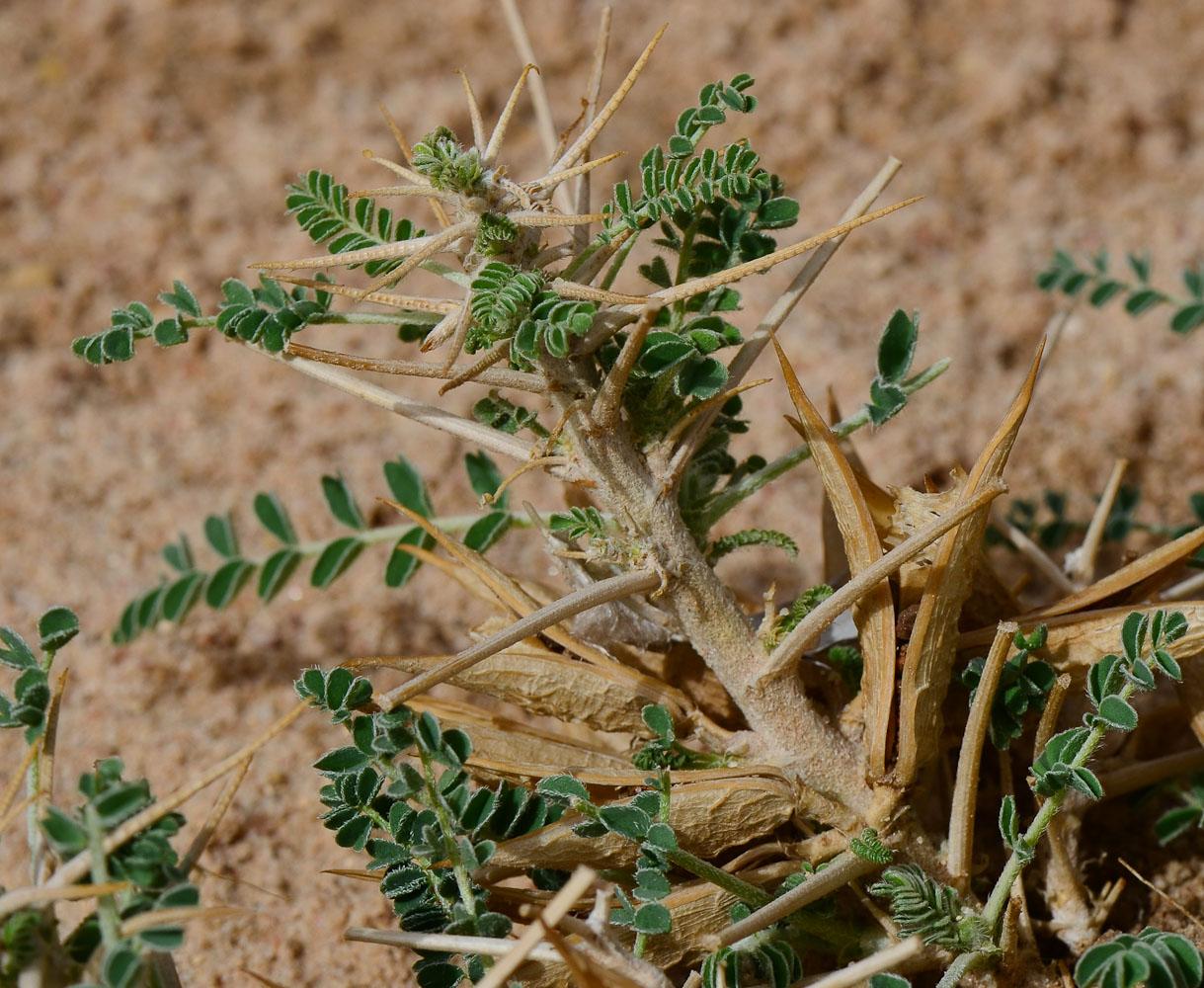 Изображение растения Astragalus sieberi.