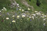 Anthemis jailensis