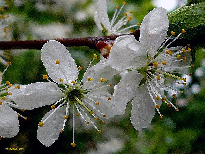 Вишня кустарниковая (Cerasus fruticosa) Автор фото: Сергей Апполонов