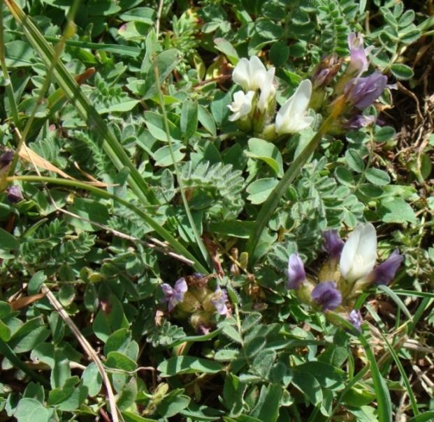 Изображение растения Astragalus sphaerocalyx.
