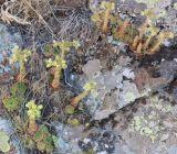 Sempervivum transcaucasicum