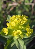Euphorbia procera