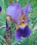 Iris × hybrida