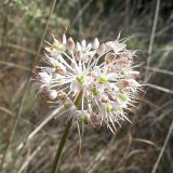 Allium savranicum