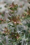 Lagochilus diacanthophyllus