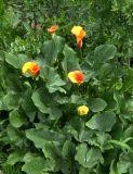Zantedeschia elliottiana