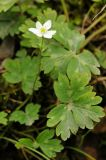 Hepatica falconeri