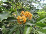 Pterocarpus violaceus
