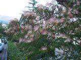 Albizia julibrissin.  Ветви с соцветиями.  Крым, г. Ялта, в культуре.