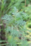 Artemisia macrantha