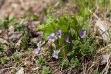 Viola mirabilis