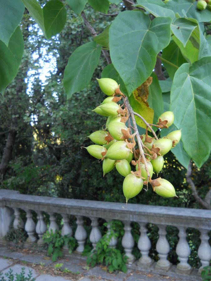 Павлония дерево выращивание 58