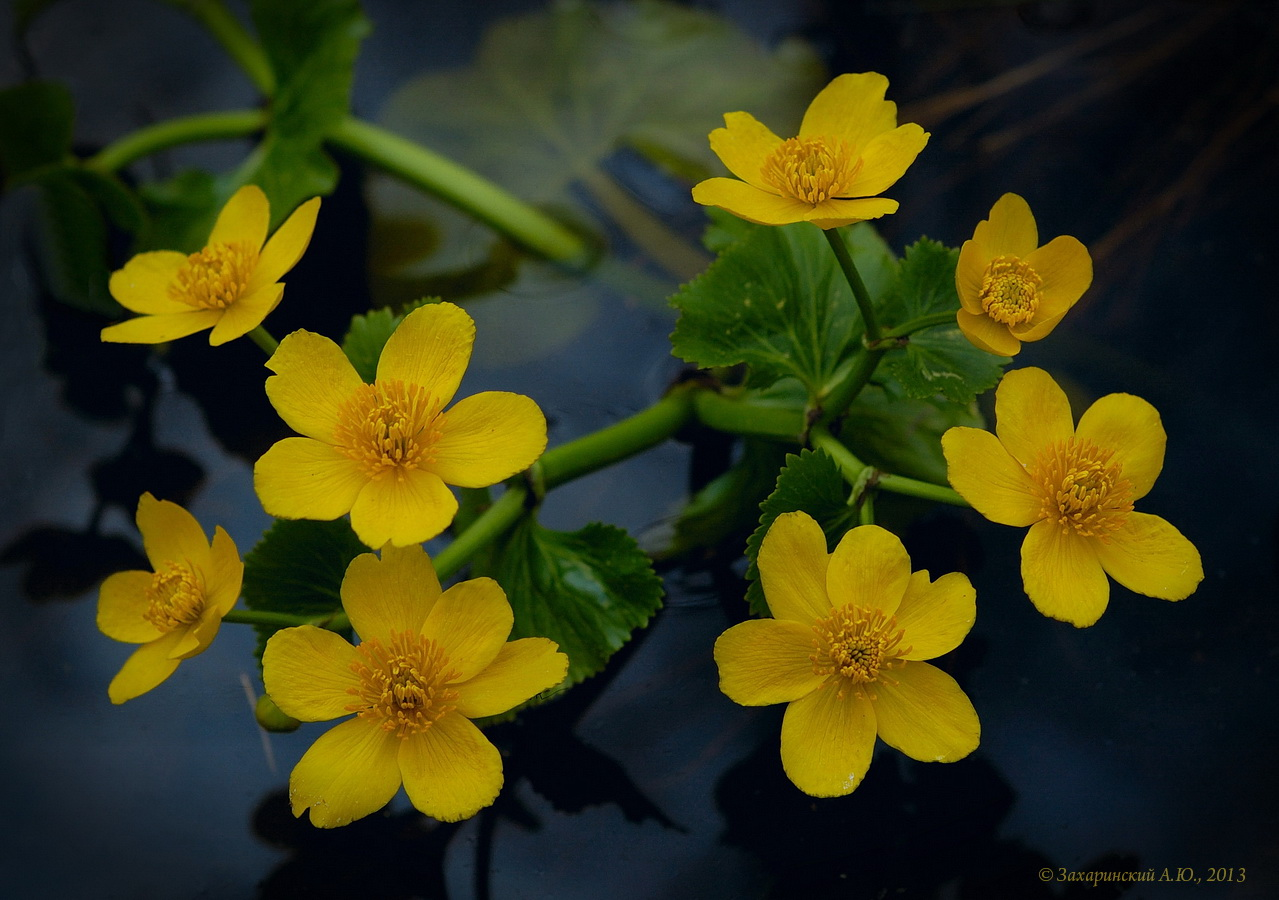 Калужница болотная (Caltha palustris). Автор фото:Алексей Захаринский