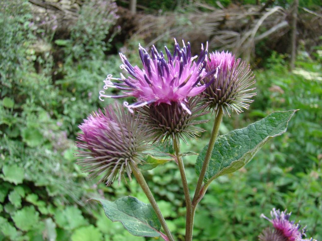 Изображение растения Arctium platylepis.