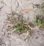 Salicornia natalensis