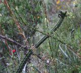 Corryocactus