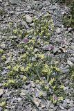 Scutellaria linczewskii