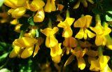 Caragana frutex