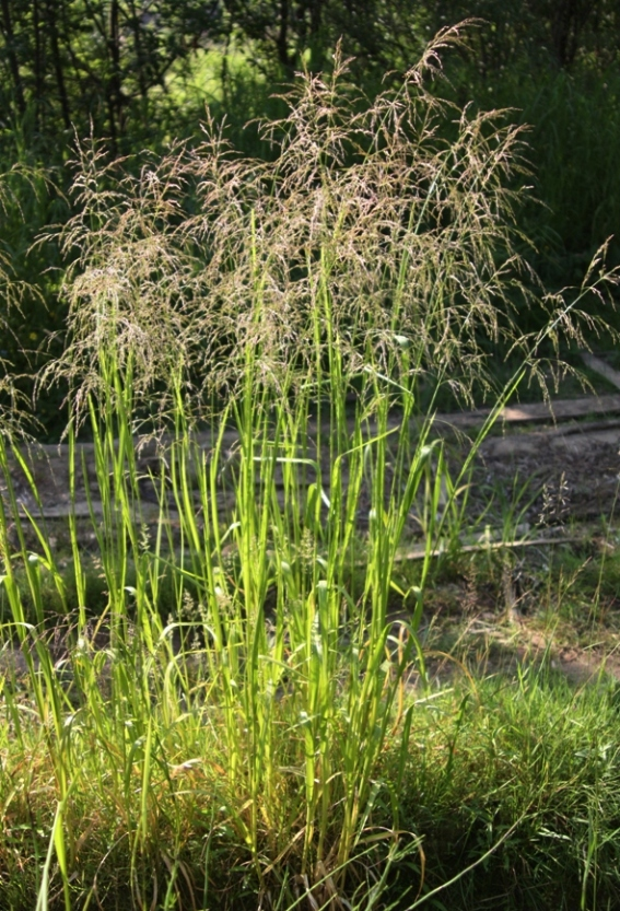 манник растение