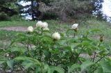 Paeonia macrophylla