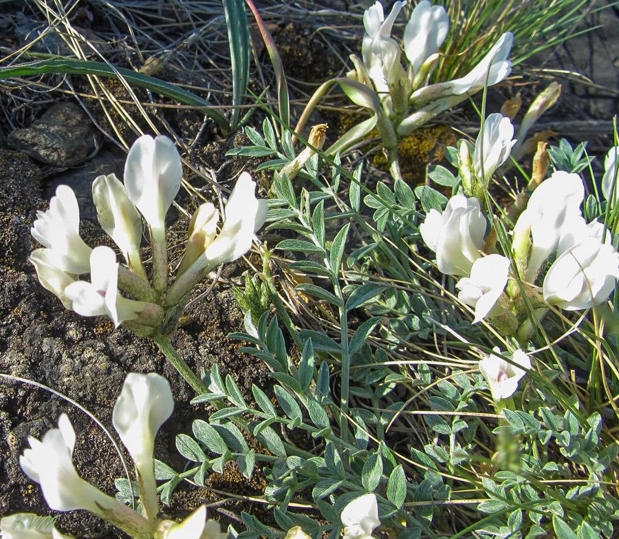 Изображение растения Astragalus macroceras.