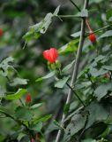 Malvaviscus arboreus