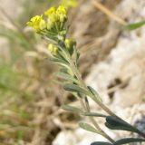 Alyssum trichostachyum