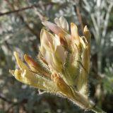 Astragalus reduncus