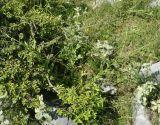 Cynoglossum hungaricum