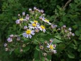 Aster ageratoides
