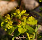 Euphorbia hierosolymitana