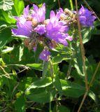 Campanula cephalotes
