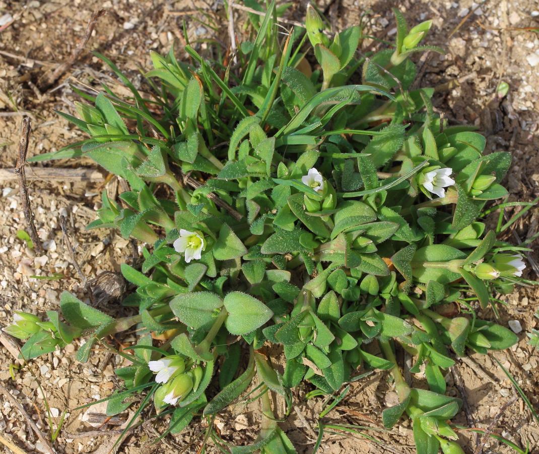 Костенец сивашский (Holosteum umbellatum ssp. syvaschicum)