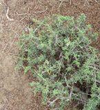 Lycium tetrandrum
