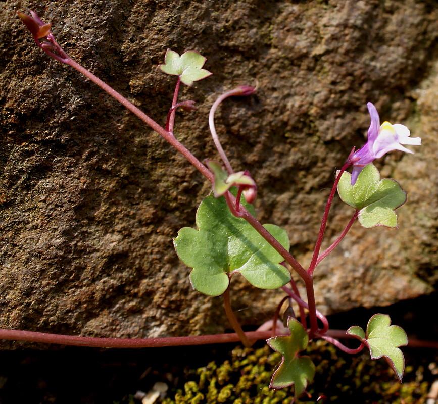 Цимбалярия выращивание из семян 60