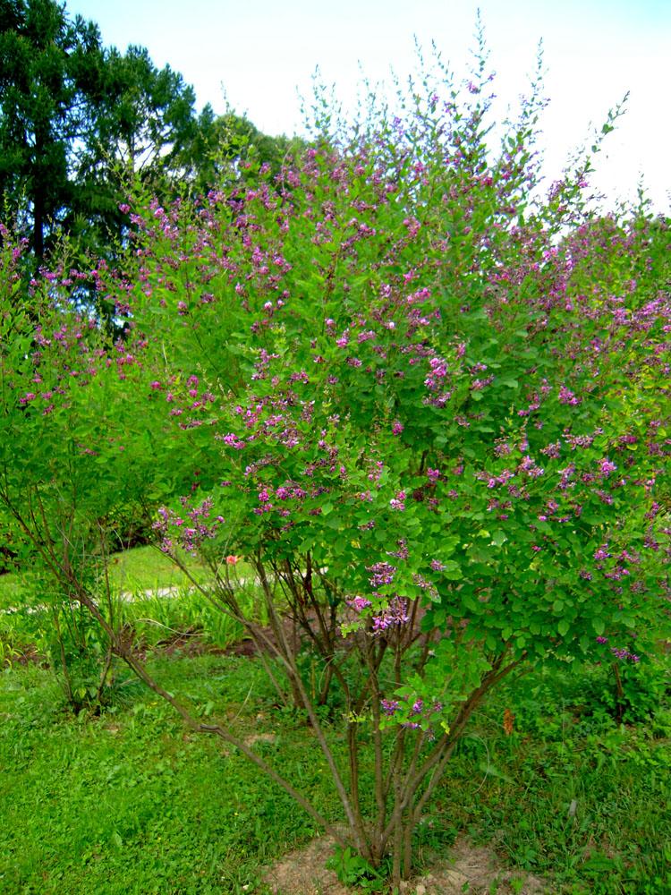 Леспедеца двуцветная выращивание из семян 37