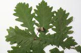 Quercus imeretina