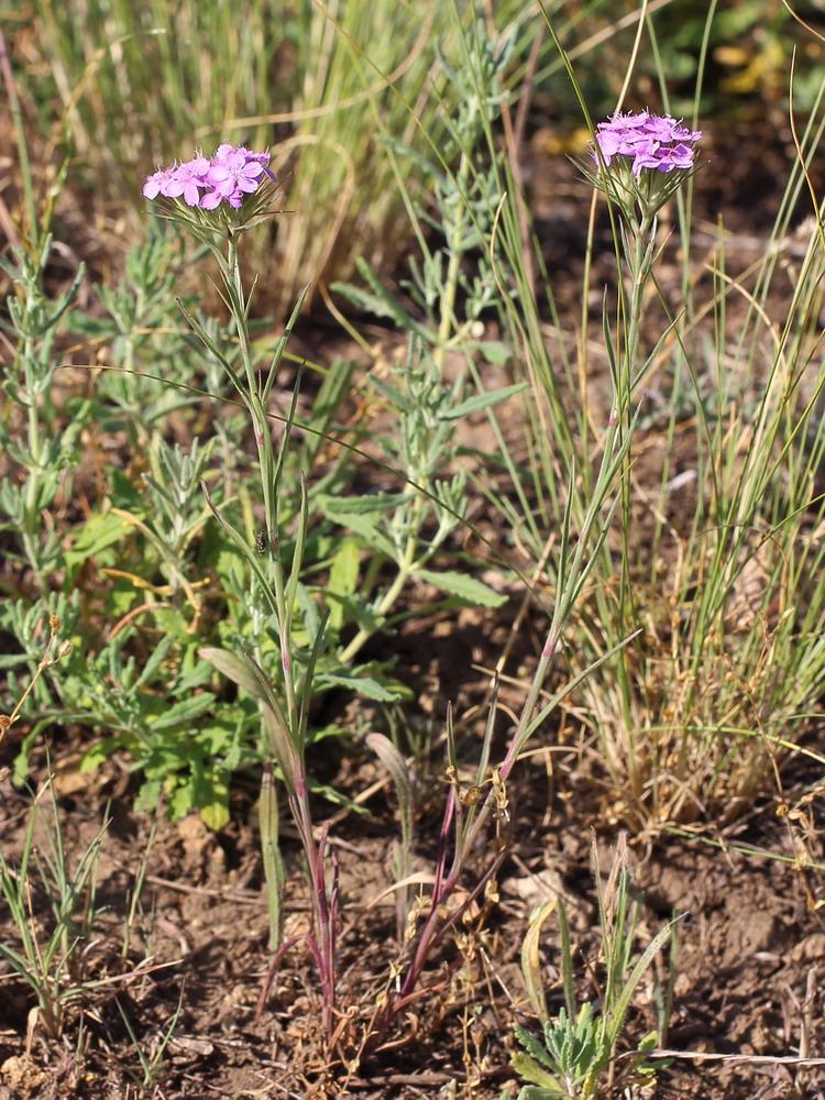 Гвоздика ложноармериевидная (Dianthus pseudarmeria)