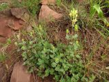 Scutellaria adenostegia