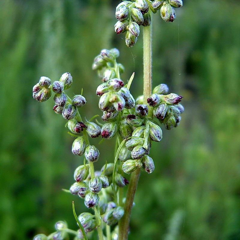 Полынь обыкновенная (Artemisia vulgaris) Автор фото: Сергей Апполонов