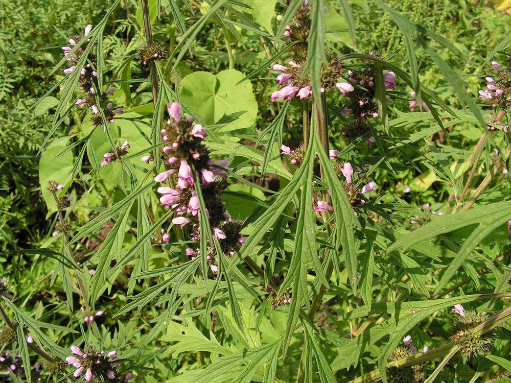 путленд тогда лекарственные травы приморья фото рецепт