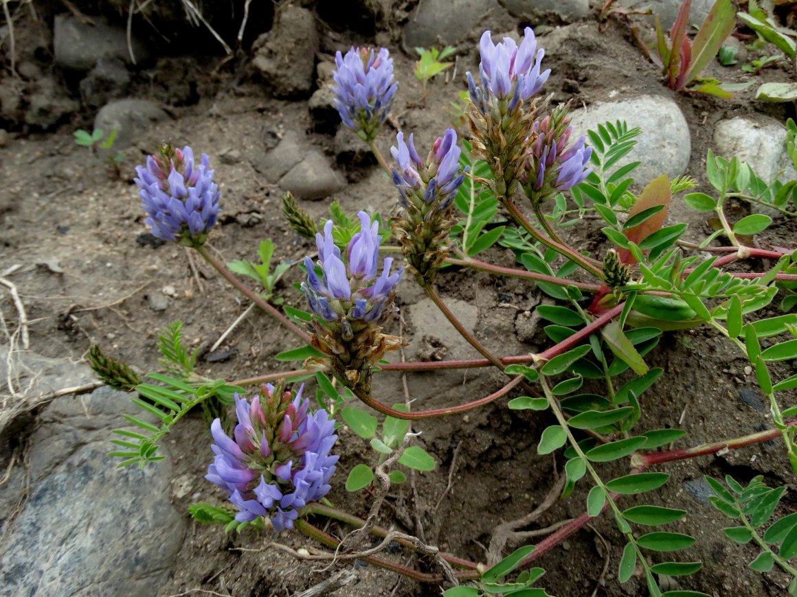 Изображение растения Astragalus marinus.