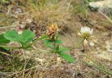 Trifolium tumens