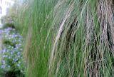 Nassella tenuissima