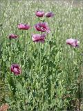 Papaver setigerum