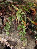 Asplenium × heufleri