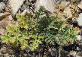 Ferula syreitschikowii