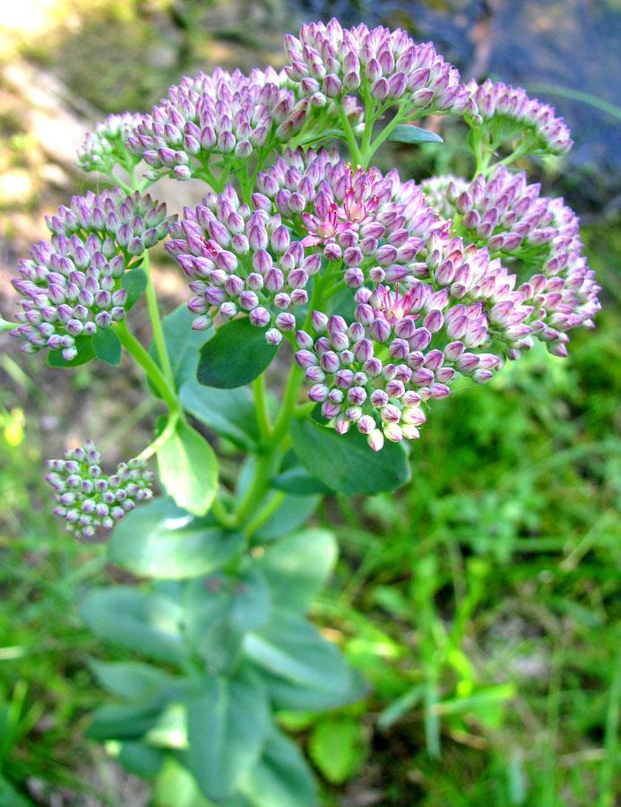 очиток пурпурный полезные свойства и противопоказания
